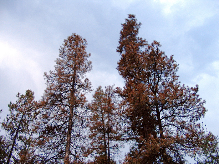 large-dead-tree-branches-tree-removal-missoula-mt